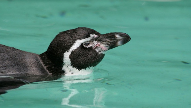 Pinguin im Zoo Dortmund