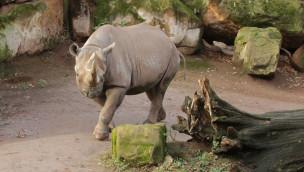 Saba Nashorn im Erlebnis-Zoo Hannover