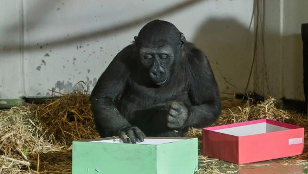 Demba im Alltwetterzoo Münster packt Geschenke aus