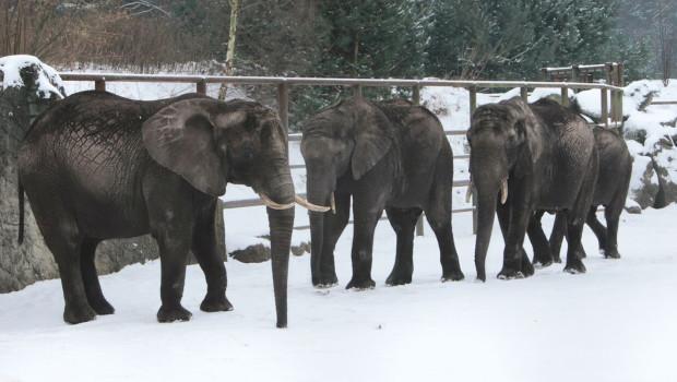 Elefanten im Schnee - Serengeti-Park