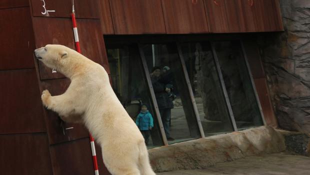 Erlebnis-Zoo Hannover Inventur 2016 Eisbär