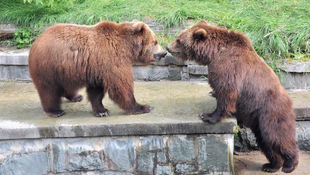 Kamtschatkabären im Zoo Rostock