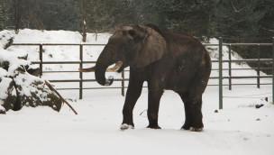 Serengeti-Park - Elefant mit Schneeball