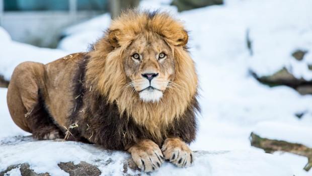 Tierpark Hellabrunn im Winter - Löwe Max