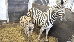 """Zebra-Baby """"Shari"""" im Zoo Rostock"""