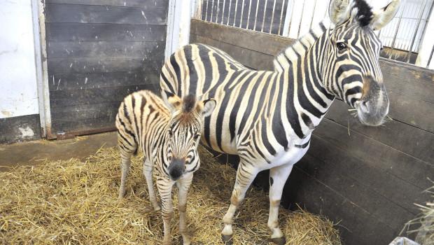 Zebra-Baby Shari im Zoo Rostock
