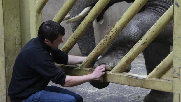 Zoo Osnabrück - Pediküre bei Elefanten