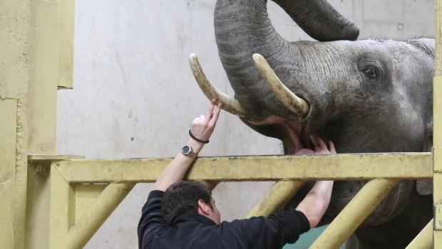 Elefantentraining zum Zusehen im Zoo Osnabrück