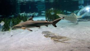 Hai-Nachwuchs im SEA LIFE Oberhausen: Fünf Schwarzspitzen-Riffhaibabies geboren