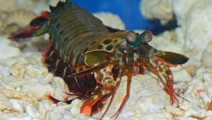 Neuer närrischer Bewohner im Allwetterzoo Münster: Clown Fangschreckenkrebs ins Aquarium eingezogen