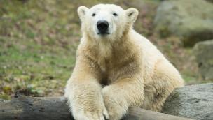 Eisbär Nobby im Tierpark Hellabrunn auf einem Baumstamm liegend