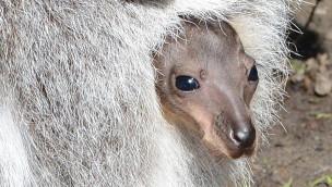 Allwetterzoo Münster meldet 2016 dreifachen Nachwuchs bei den Kängurus