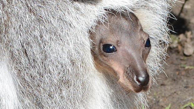 Münster Känguru-Baby im Beutel