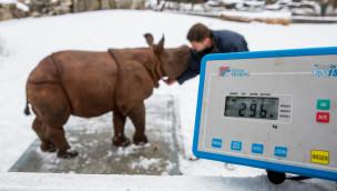 """Nashorn """"Puri"""" auf der Waage im Tierpark Hellabrunn"""
