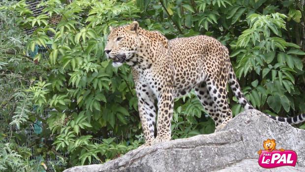 Parc Le Pal - Sri Lanka Leopard