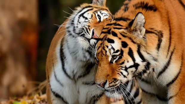 Sibirische Tiger - Paar im Münchner Tierpark Hellabrunn