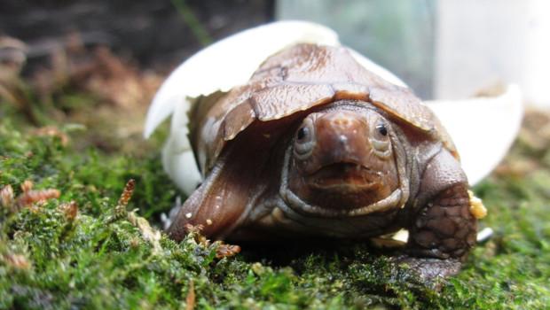 Sulawesi-Schildkröte Baby in Münster