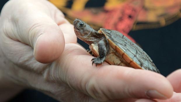 Sulawesi-Schildkröte auf der Hand im Allwetterzoo Münster