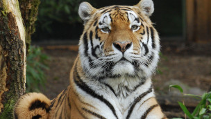 "Allwetterzoo Münster – Tiger ""Rasputin"" wegen Tumor eingeschläfert"