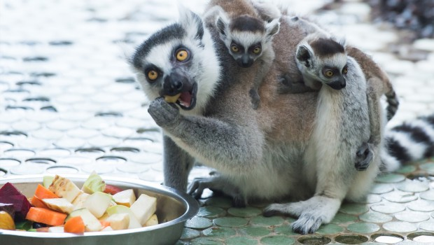 Affen-Zwillinge im Tierpark Hellabrunn 2016
