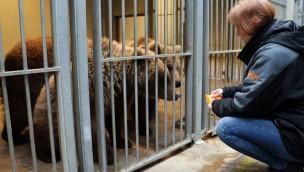 """ZOOM Erlebniswelt begrüßt 2016 neu drei Braunbärinnen in """"Alaska"""""""