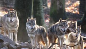 Europäische Wölfe haben Zoo Osnabrück verlassen