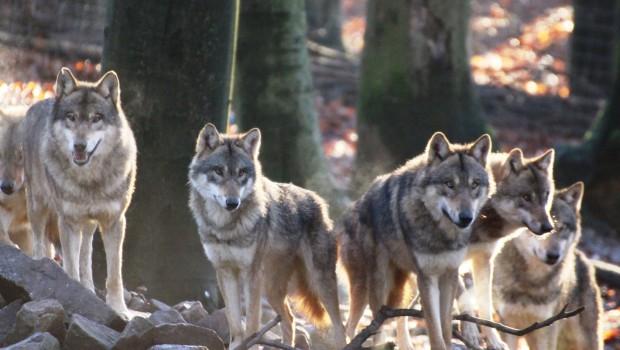 Europäische Wölfe im Zoo Osnabrück