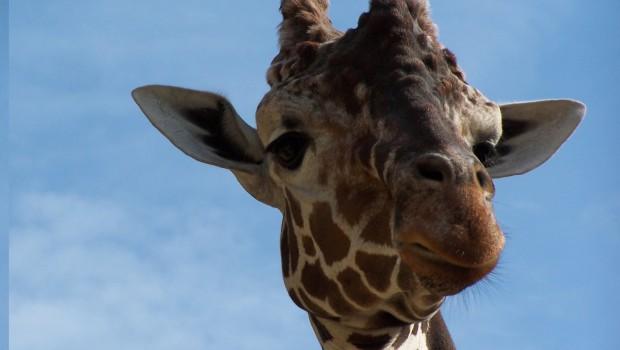 Giraffe Edgar im Zoo Osnabrück