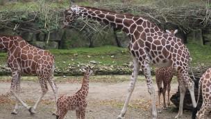 """""""Edgar"""" in der Giraffenherde. (Foto: Zoo Osnabrück)"""