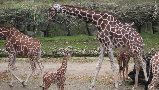 Giraffenherde im Zoo Osnabrück