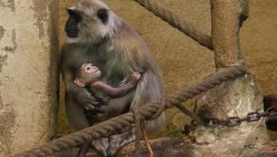 Hulman-Langufren-Baby im Erlebnis-Zoo Hannover