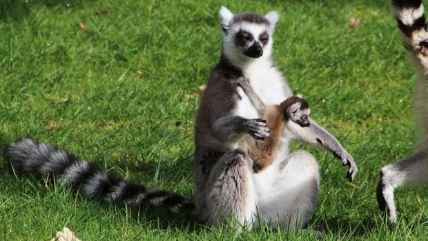 Katta-Baby im Serengeti-Park 2016 mit Mutter