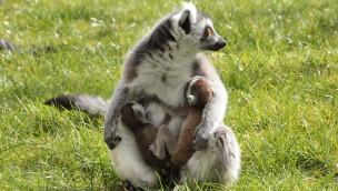 Serengeti-Park freut sich 2016 über Geburt von Katta-Zwillingen
