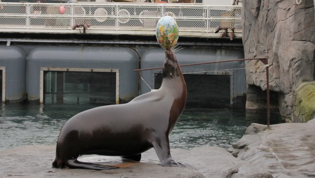 Seelöwe balanciert Osterei - Erlebnis-Zoo Hannover