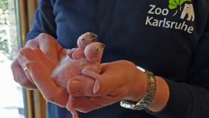 Zoo Karlsruhe feiert 2016 Zuchterfolg bei Papageien: Bei Sonnensittichen sprießen erste Federn
