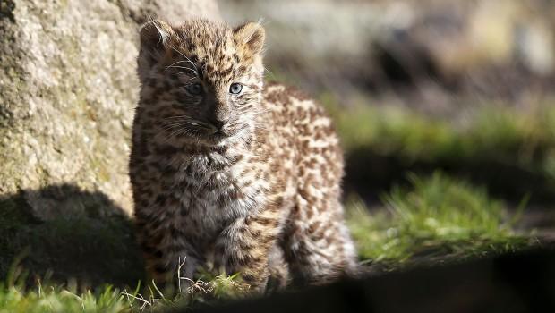 Amur-Leoparden-Baby im Serengeti-Park