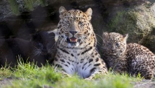 Amurleoparden-Nachwuchs im Serengeti-Park