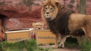 Erlebnis-Zoo Hannover verabschiedet Berberlöwen-Paar nach Heidelberg