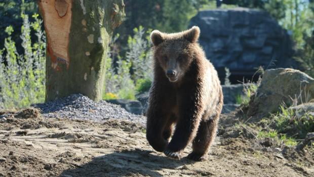 Braunbär in der ZOOM Erlebniswelt rennt