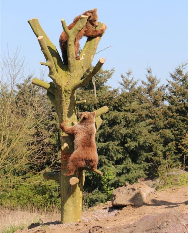 Braunbären Klettern am Baum ZOOM Erlebniswelt