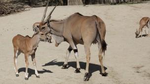 Erlebnis-Zoo Hannover Elenantilope