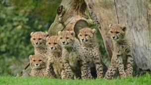 Geparden-Babys im Allwetterzoo Münster 2016