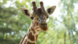 Giraffe Naledi im Tierpark Hellabrunn