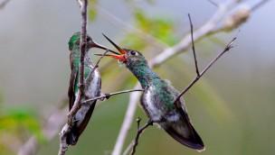 Kolibri-Babys im Weltvogelpark Walsrode 2016