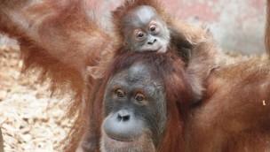 "Zoo Dortmund trauert um Orang-Utan-Jungtier ""Ikhlas-Paul"""