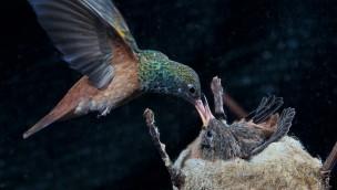 Rostbauchamazilie - Nest im Weltvogelpark Walsrode