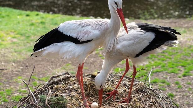 Storchennest im Weltvogelpark Walsrode
