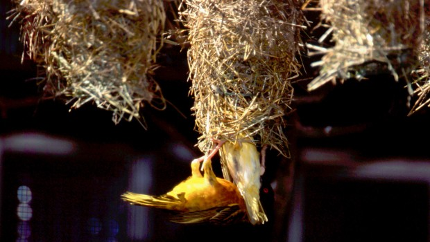 Webervogel beim Nestbau im Weltvogelpark Walsrode
