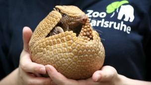 Gürteltier aus dem Zoo Karlsruhe lebt künftig im Loro Parque auf Teneriffa