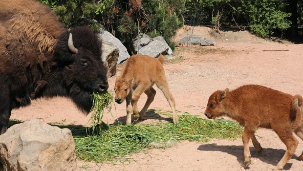 Bison Baby Kälber im Erlebnis-Zoo Hannover 2016